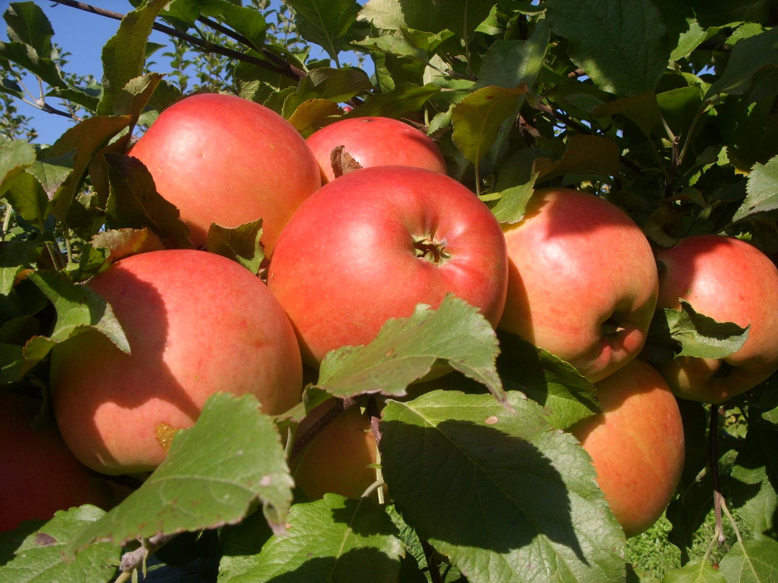 Фото планировка для яблони саженц 14 фотография
